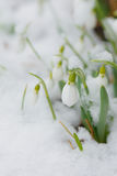 Snowdrops in the spring time Royalty Free Stock Image