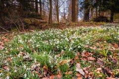 Snowdrops in Springtime Woods Stock Photos