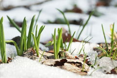 Snowdrops sprouts Royalty Free Stock Image