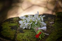 Snowdrops in nature stock image