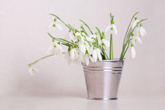 Snowdrops in steel bucket Royalty Free Stock Image
