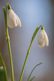 Snowdrops. On a sunny morning during spring season royalty free stock photo