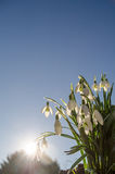 Snowdrops. And sunshine with blue sky Stock Image