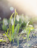 Snowdrops in sunshine and bokeh in park Royalty Free Stock Images