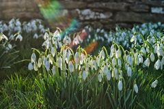 Snowdrops and sunshine Stock Photos