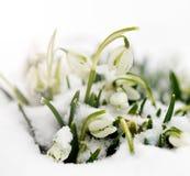 Snowdrops Royaltyfri Foto