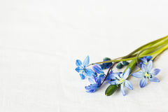 Snowdrops on the table. Blue snowdrops on the table stock photo