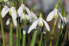 Snowdrops. Tender snowdrops are the first spring flowers Stock Image