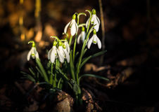 Snowdrops tuft. Snowdrops are a bunch of first signs of spring Royalty Free Stock Photo
