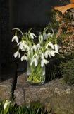 Snowdrops in a vase Stock Photo