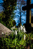 Snowdrops in village church yard Stock Photo