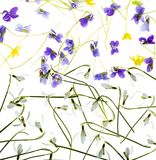 Snowdrops and violets isolated on a white background Stock Images