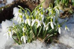 Snowdrops Voronova (lat Woronowii de Galanthus) Imagem de Stock Royalty Free