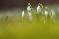 Snowdrops with waterdrops. On morning with blurred bottom Stock Images