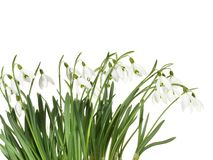 Snowdrops on white Background stock photos