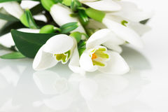 Snowdrops on white background Royalty Free Stock Images