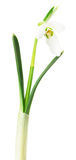 Snowdrops on white background Stock Photo