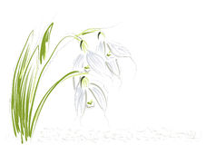 Snowdrops on white background. Snowdrops. abstract flowers on a white background Stock Photo