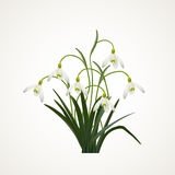 Snowdrops on a white background. Spring vector illustration. Vector background with snowdrop. Background with flower. Illustratio. N of flowers. Spring Vector Illustration