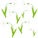 Snowdrops on white background. Vector illustration Stock Photos