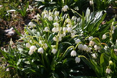 Snowdrops. White snowdrops in the early spring Stock Photo