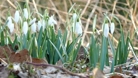 Snowdrops. White Snowdrops in the forest stock footage