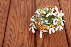 Snowdrops in a wicker basket royalty free stock images
