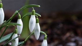 Snowdrops in wind stock video