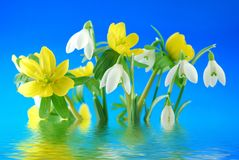 Snowdrops and winter aconite Stock Images