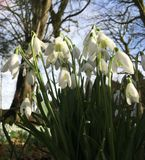 Snowdrops. Winter blooms of snowdrops Stock Image