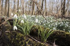 Snowdrops in winter forest Stock Images