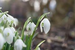 Snowdrops in winter Stock Photos