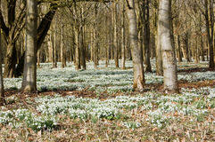 Snowdrops in Woodland Royalty Free Stock Photos