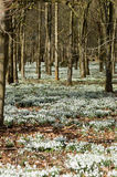 Snowdrops in woodland, vertical. View of a wood carpeted with blooming snowdrops.  Welford Park, near Newbury, Berkshire Royalty Free Stock Image