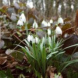 Snowdrops in the woods Stock Photography