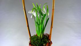 Snowdrops in woven basket stock footage