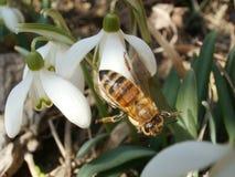Snowdrops y abeja Foto de archivo libre de regalías