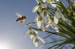 Snowdrops y abeja Fotos de archivo libres de regalías