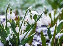 Snowdrops y azafrán Imagen de archivo libre de regalías