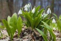 Snowdrops y hojas del verde fotografía de archivo