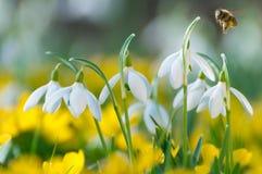 Snowdrops y hyemalis amarillos del Eranthis en el SP temprano Foto de archivo