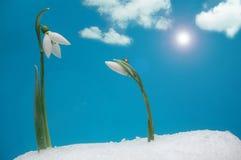 Snowdrops y ladybug Imagen de archivo libre de regalías