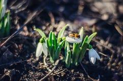Snowdrops y una abeja Foto de archivo