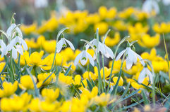 Snowdrops and yellow Eranthis Stock Image