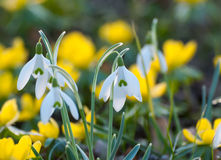 Snowdrops and yellow Eranthis Royalty Free Stock Images