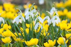 Snowdrops and yellow Eranthis Stock Photos