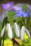 snowdroptid Royaltyfri Bild