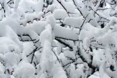 Snowed apricot branches Stock Images