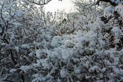 Snowed branches view Royalty Free Stock Image