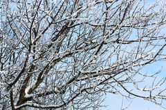 Snowed branches Royalty Free Stock Photos